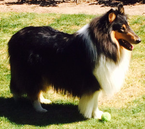 Sherpa - collie. Therapy dog.